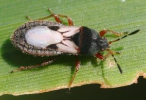Cinch Bugs