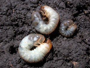 White Grubs